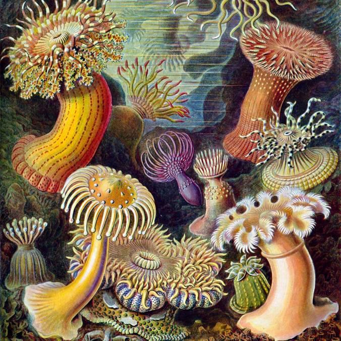 Haeckel_Actiniae_1899-2x